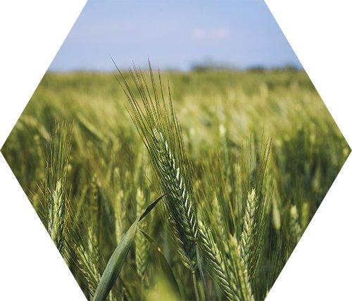 Triticale Cover Crop Plant